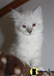 siberian kitten posted by kandizkatz
