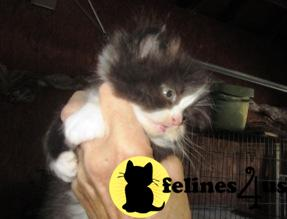 CHAMP. LINE PERSIAN GUARANTEED KITTEN ON THEIR WAY STUD SERVICE DISCOUNT