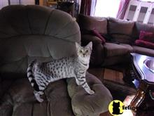 egyptian mau cat posted by KPurrs