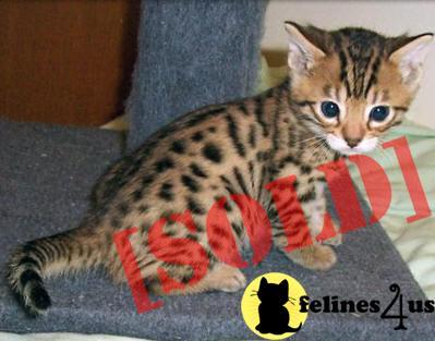 Awesome home raised Bengal Kitten