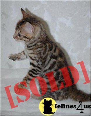 Superm home loving American Bobtail kitten