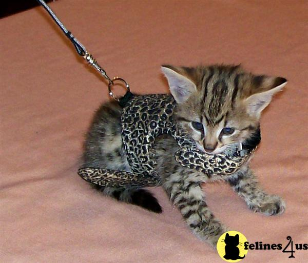 Savannah Cats For Sale Southern California