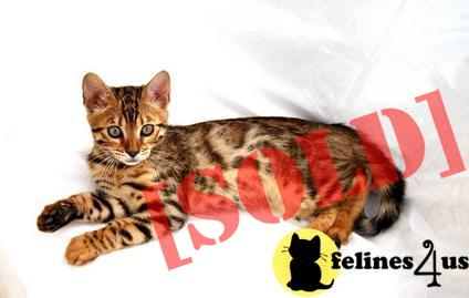 lovely bengal kitten ready to go