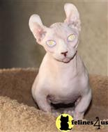 sphynx kitten posted by redheadedang