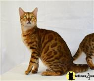 bengal cat posted by bengals4sale