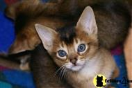 abyssinian kitten posted by Arroyo Abyssinians