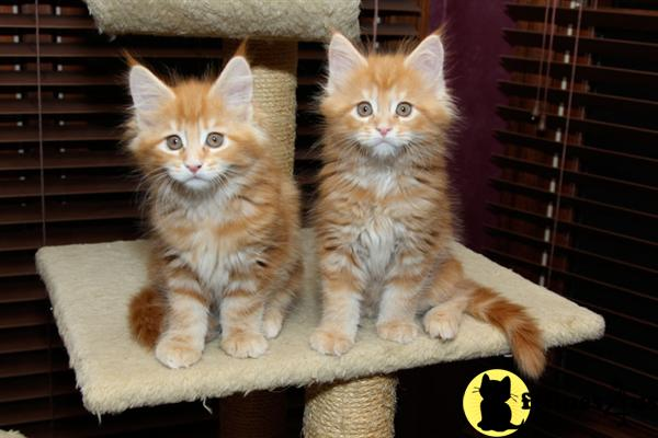 Maine Coon Kittens in Ohio