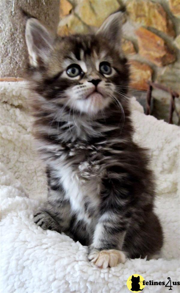 FL USA, Maine Coon Kittens