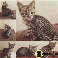 savannah kitten posted by donnacats