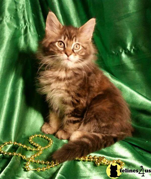 Maine Coon Kittens in North Carolina