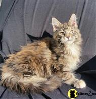 maine coon kitten posted by Carolina Companions