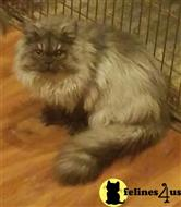 persian kitten posted by Carolina Companions