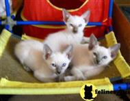 siamese kitten posted by chequotah