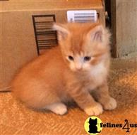 manx kitten posted by chequotah