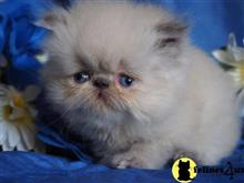persian kitten posted by poconopaws-n-wiskers.com