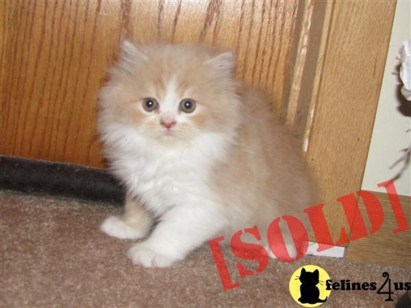 Beautiful Orange and White Bicolor Persian Male Kitten.