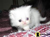 persian kitten posted by allthatgym