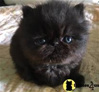 exotic shorthair kitten posted by tufur