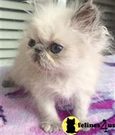 himalayan kitten posted by tufur