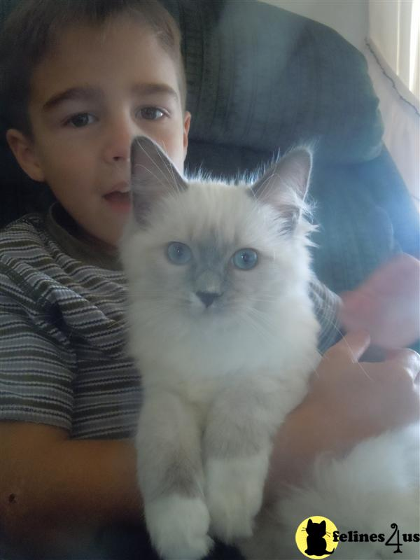 PA USA, Ragdoll Kittens