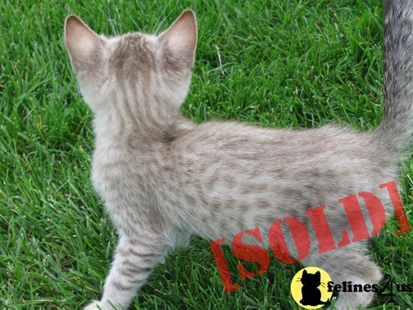 Buy bengal cat arizona