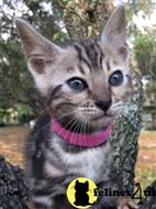 bengal kitten posted by preciouspawsnclaws