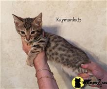 savannah kitten posted by jmiller@kaymankatz.com