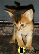 abyssinian kitten posted by toberzinsky
