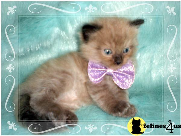 Kittens for Sale in Arkansas