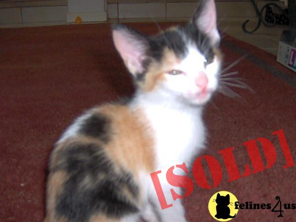 Beautiful Calico Kitten for Sale