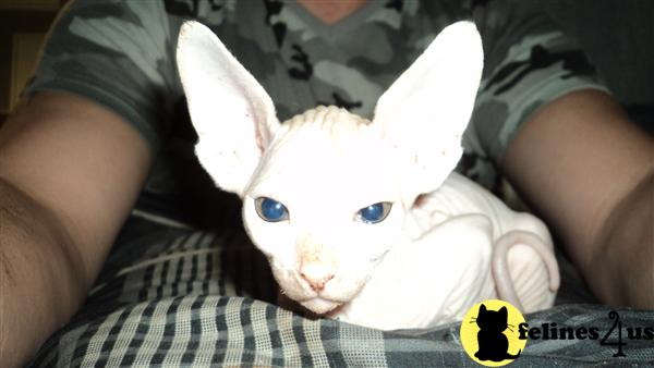 Sphynx Kittens in Florida