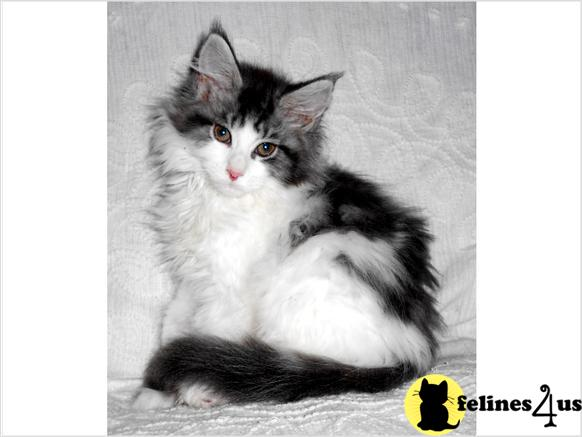 WV USA, Maine Coon Cats