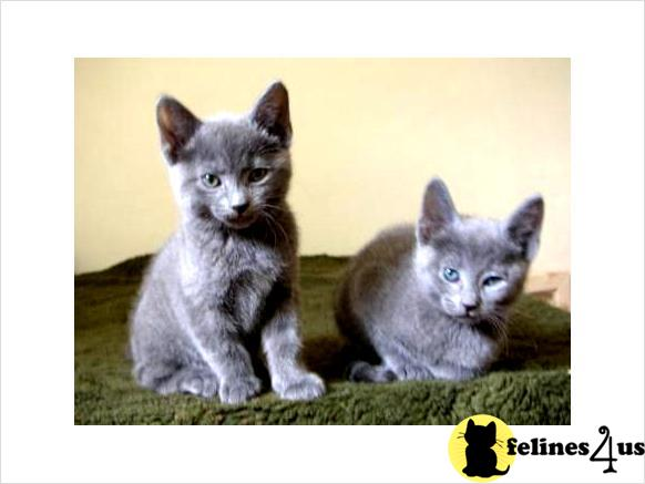 Russian Blue Cats · Cats