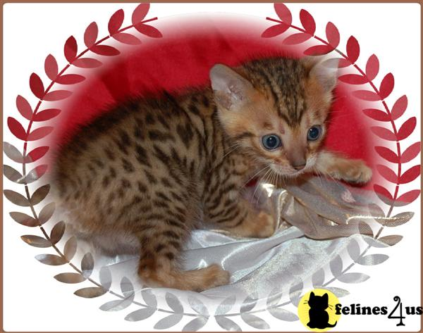 Bengal Kittens in Florida