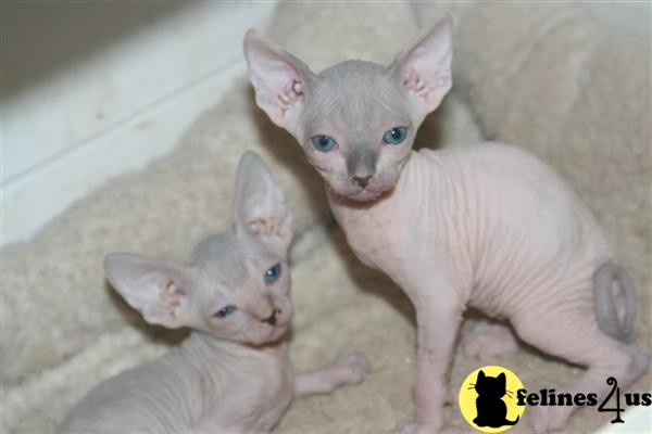Kittens for Sale in California