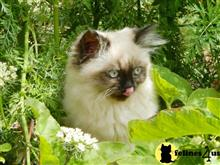 himalayan kitten posted by Kismet