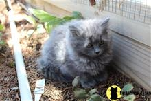 persian kitten posted by Kismet