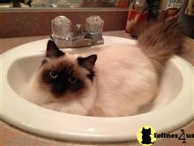 ragdoll kitten posted by Kismet