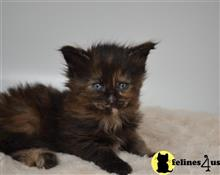 maine coon kitten posted by rick1953