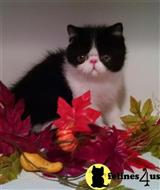 exotic shorthair kitten posted by MtDewMan