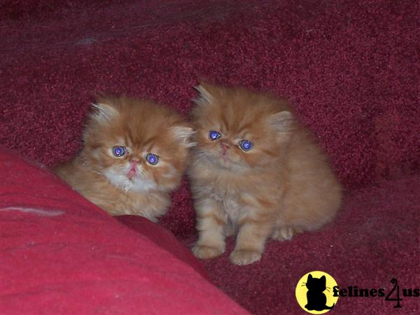 Kittens for Sale in Indiana