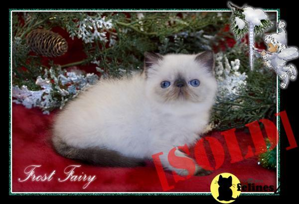 SEAL POINT EXOTIC SHORT HAIR FEMALE