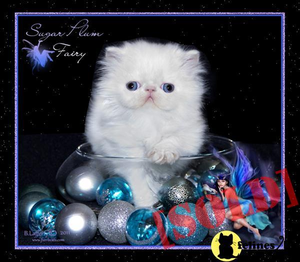 BLUE EYED WHITE PERSIAN  KITTEN SHOW QUALITY FEMALE