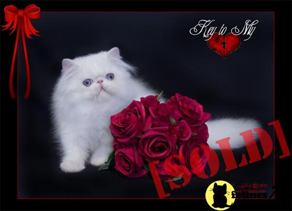 BLUE EYED WHITE PERSIAN FEMALE