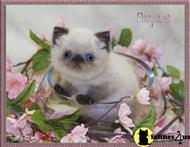 exotic shorthair kitten posted by furrbcats