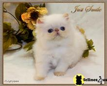 himalayan kitten posted by furrbcats