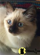 birman kitten posted by kyatbirmans