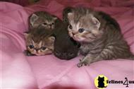 exotic shorthair kitten posted by judyjustus