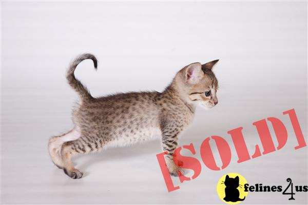 F4 Savannah Cats for Sale http://www.felines4us.com/Kittens/Savannah1569.aspx