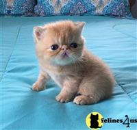 exotic shorthair kitten posted by Ivy Cat 179